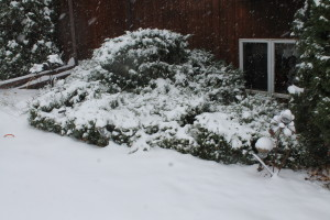 snow in bushes
